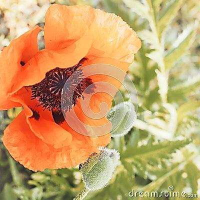 Vintage poppy flower.