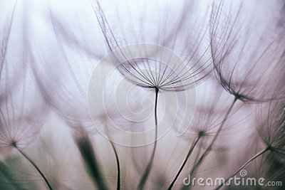 Vintage Purple abstract dandelion flower background