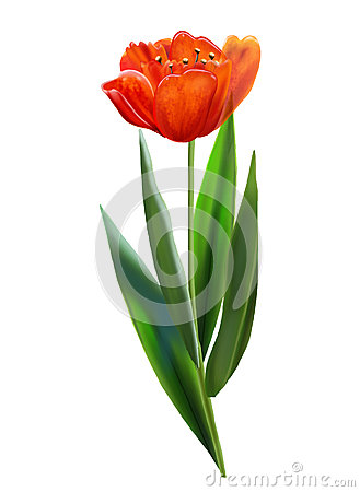 VINTAGE the RED tulip