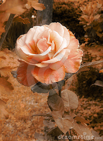 Vintage romantic rose