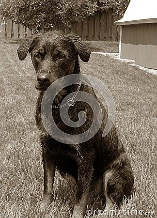 Vintage Rottweiler Dog