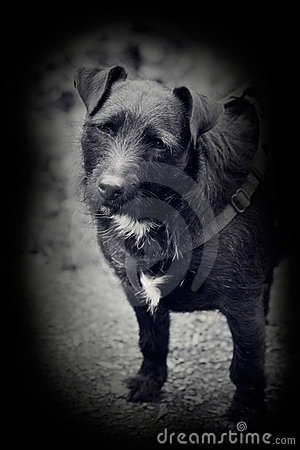 Vintage style photo of patterdale terrier