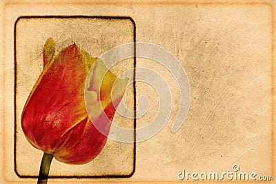 Vintage tulip