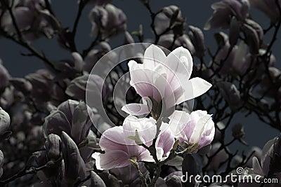 Vintaged Magnolias