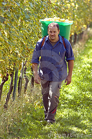 Vintner During The Harvest