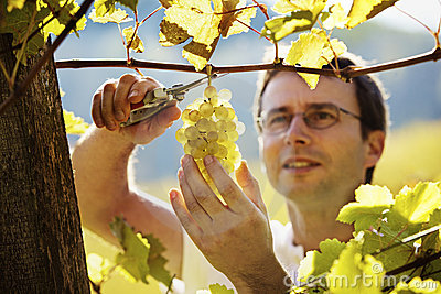 Vintner harvesting grapes