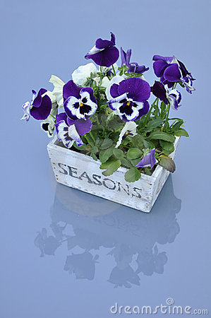 Viola Cultivar