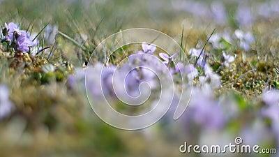 Viola di Heath stock footage