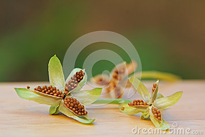 Viola Flower Seed Pods Stock Photo Image 55108400