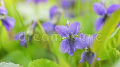Viola Odorata Bloom in the grass. Viola odorata is commonly known as wood or sweet violet, English or common violet, florist`s or garden violet. Soft natural stock video footage