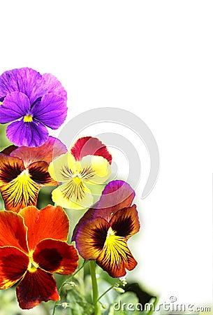 Viola Pansies