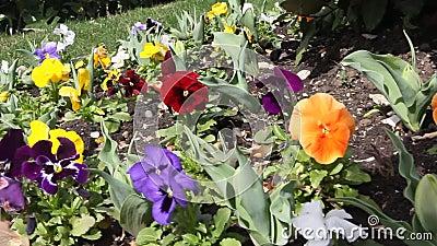 Viola tricolor stock footage