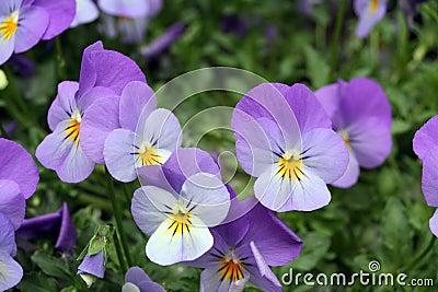 Viola tricolor cats