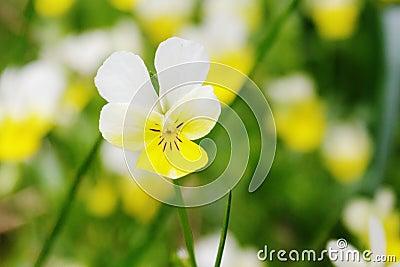 Viola tricolor. Pansy flower closeup.