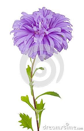 Violet aster flower