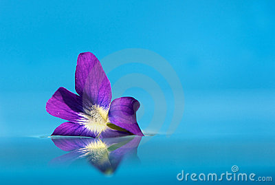 Violet bloom floating on water with copy space.