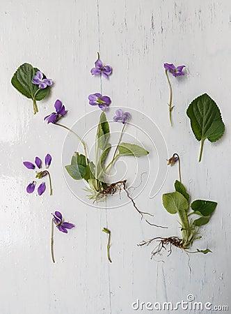 Free Violet Botanical Herbarium Stock Image - 101658951