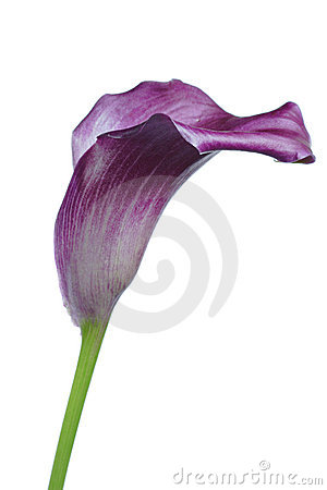 Violet calla Lilly flower