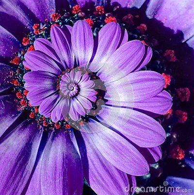 Free Violet Camomile Daisy Flower Spiral Abstract Fractal Effect Pattern Background. Purple Flower Spiral Abstract Pattern Fractal Stock Photos - 106290583