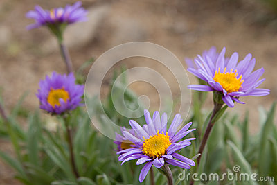 Violet camomiles (the Alpine aster)