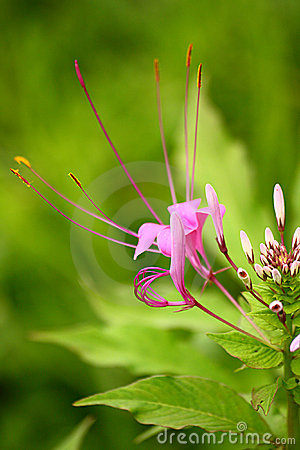 Violet Color Showy Spider Flower with white buds