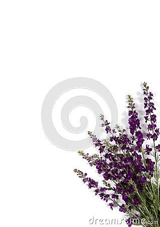 Violet corner