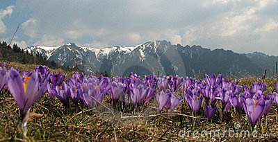 Violet crocus flowers - mountains landscape