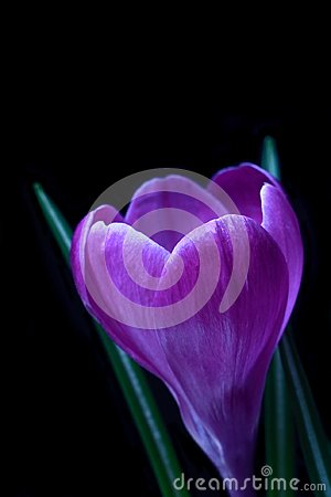 Free Violet Crocus Spring Flower Stock Photography - 111707302