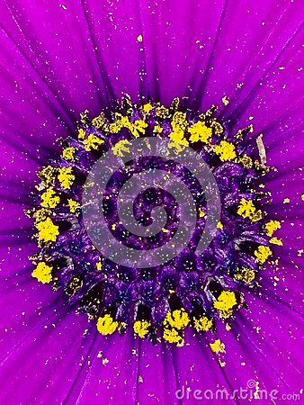 Free Violet Daisy Flower Center Royalty Free Stock Photos - 111591738
