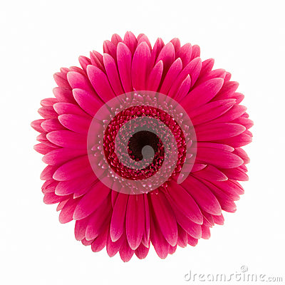 Violet daisy flower isolated