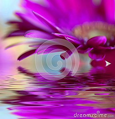 Violet daisy-gerbera
