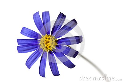 Violet Daisy in the Springtime,isolated on white