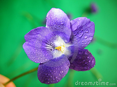 Violet Dew