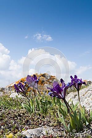 Violet Dwarf Iris