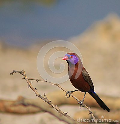 Violet-eared Waxbill - Beauty and the Thorn