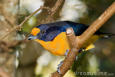 Violet Euphonia Bird