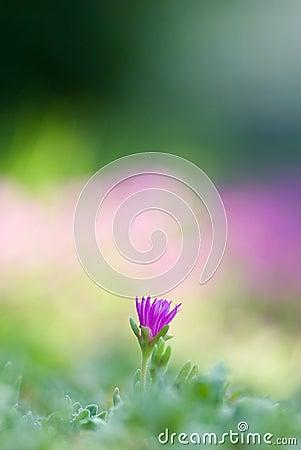 Free Violet Flower Stock Photos - 11856933