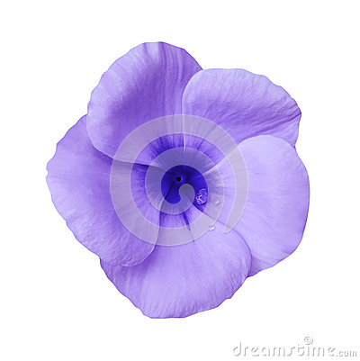 Free Violet  Flower On Isolated White Background With Clipping Path.  Closeup. Beautiful Purple Flower Violets For Design. Royalty Free Stock Images - 97995889
