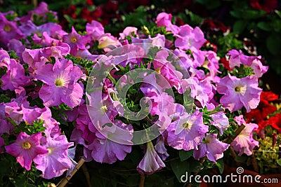Violet flowered petunia