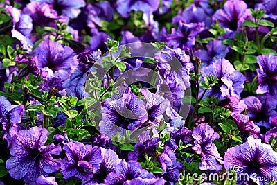 Violet floweres
