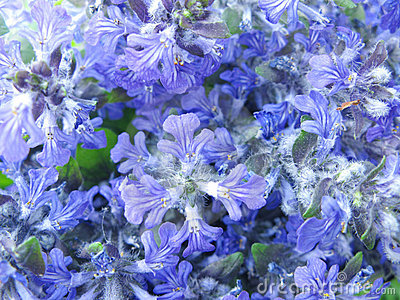 Violet flowers as abstract floral background