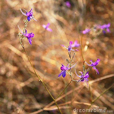 Free Violet Flowers In A Field Royalty Free Stock Photography - 11799937