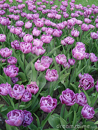 Free Violet Flowers On Field Stock Images - 2401394