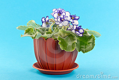 Violet flowers in a pot