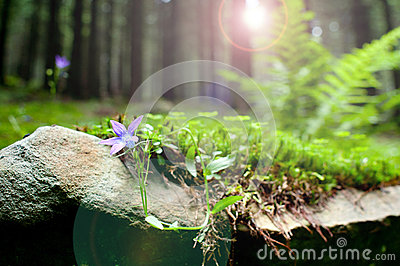 Violet forest flower Hepatica nobilis