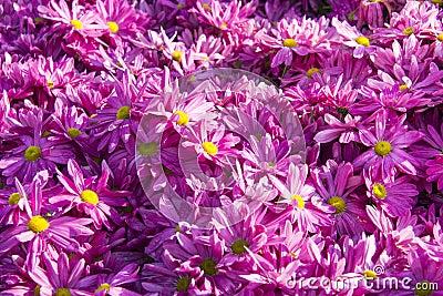 Violet Gerbera Daisy