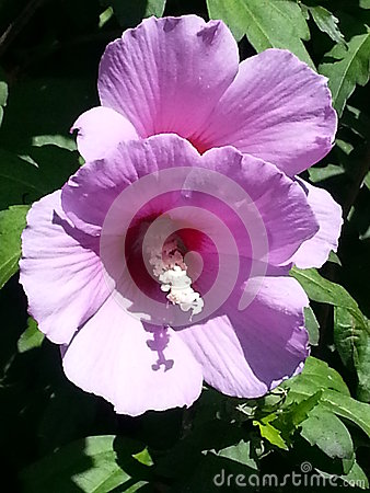 Free Violet Hibiscus Syriacus Flowers Royalty Free Stock Images - 56566289