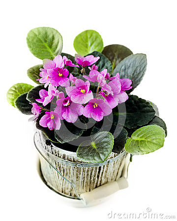 Free Violet In Pot Royalty Free Stock Photography - 31857167