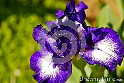 Violet Iris Flowers