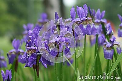 Violet iris flowers in park